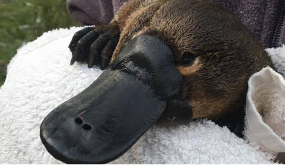 The Platypus is Under Serious Threat, and Scientists are Calling for National Action